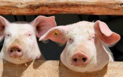 Un único sistema con un doble tratamiento de agua para los vertidos de las granjas de cerdos