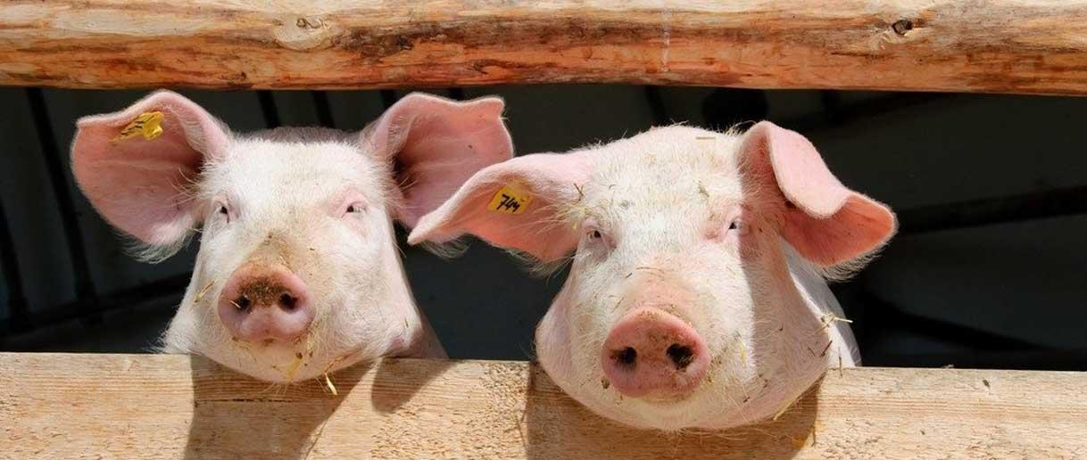 Un-único-sistema-con-un-doble-tratamiento-de-agua-para-los-vertidos-de-las-granjas-de-cerdos-Bluegold